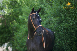 Geschenkgutschein Spanisches Pferd bei Picadera